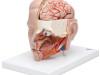 Model głowy  ( 6 częściowy )