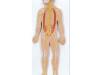 Model systemu nerwowego człowieka –  1/2 naturalnej wielkości