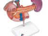 Model organów nadbrzusza