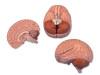 Model anatomiczny mózgu, 2 częściowy