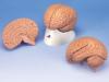 Podstawowy model mózgu, 2 częściowy
