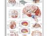 Plansza edukacyjna – ludzki mózg ( laminat)