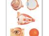 Plansza anatomiczna-budowa oka – z listewkami