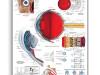 Plansza anatomiczna – budowa oka i funkcje oka – laminat