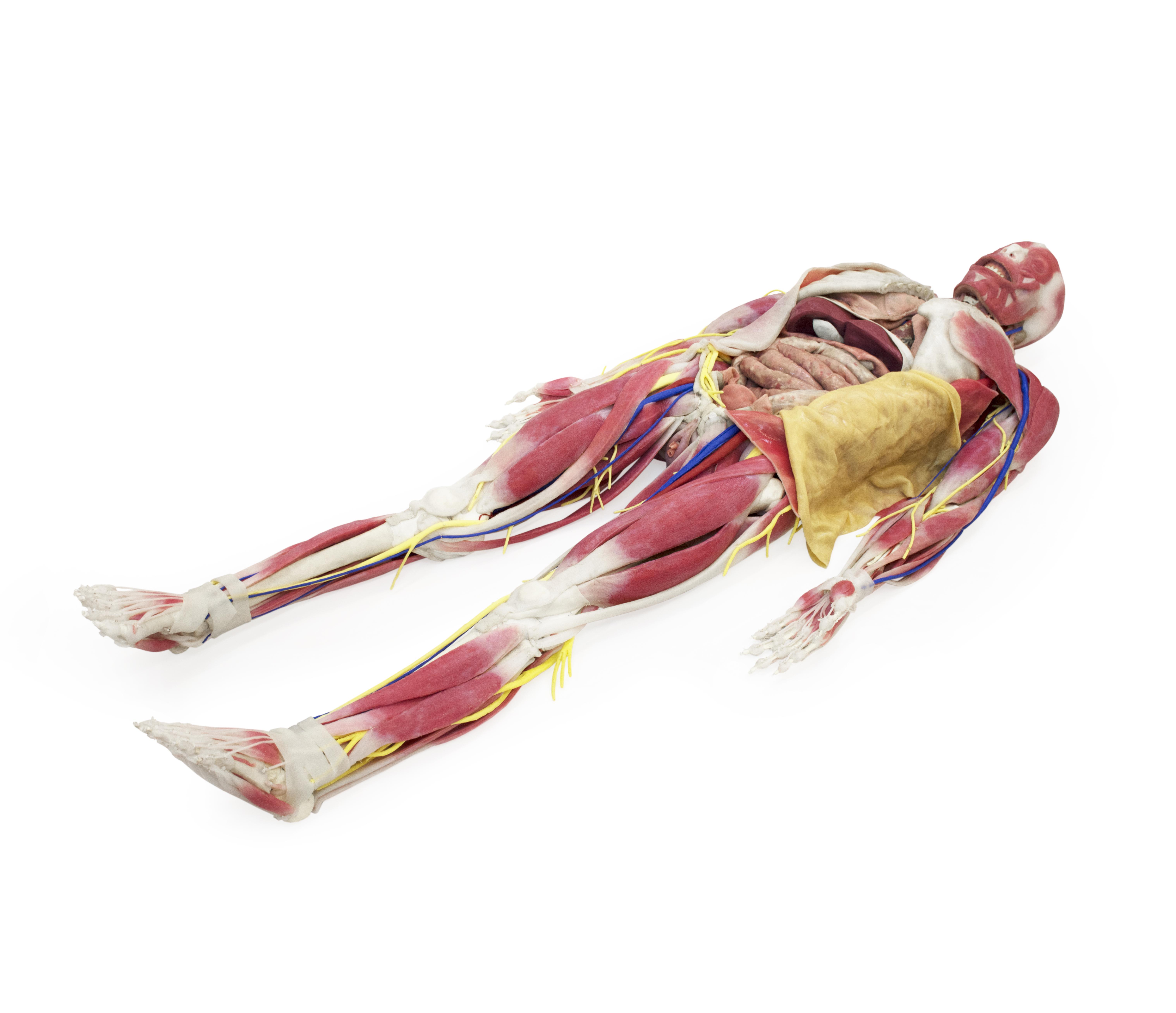 Symulator SynDaver™ – Syntetyczny model anatomiczny